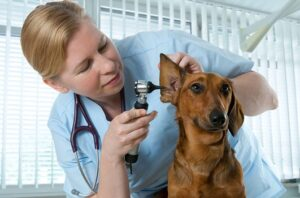 Случаи использования ветеринарного отоскопа